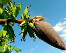 http://pixabay.com/es/plátano-árbol-de-plátano-256521